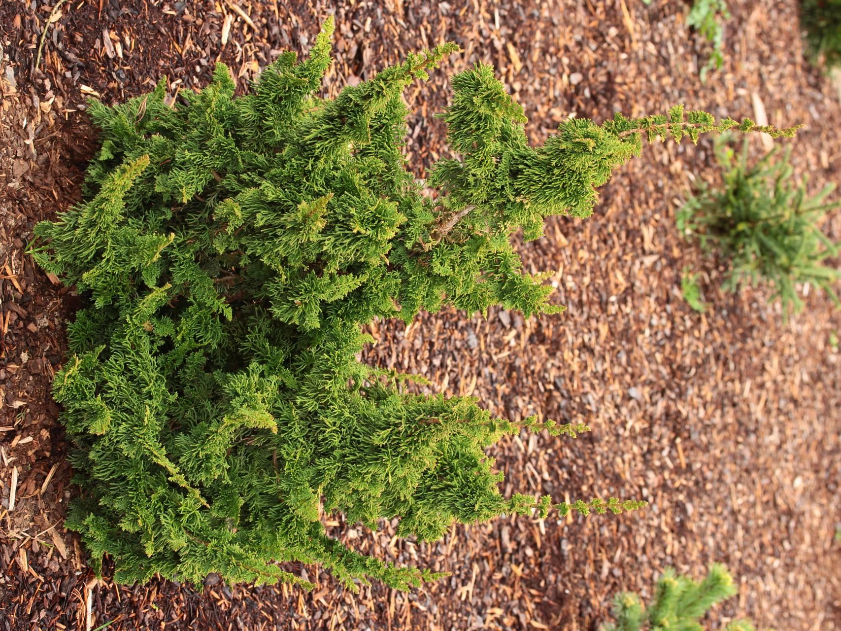 Thuja occidentalis Malonyana Holub conifer evergreen unique forms green