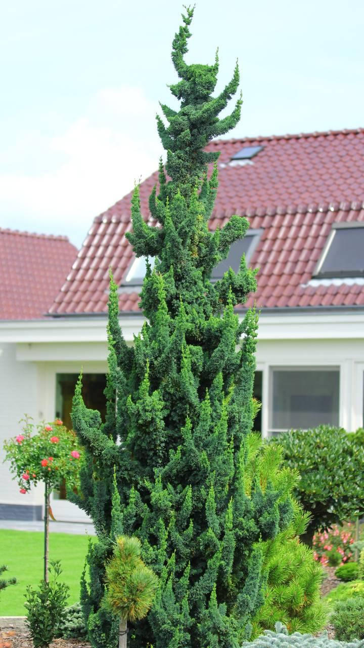 Chamaecyparis lawsoniana Wissel's Saguaro conifer evergreen unique forms green