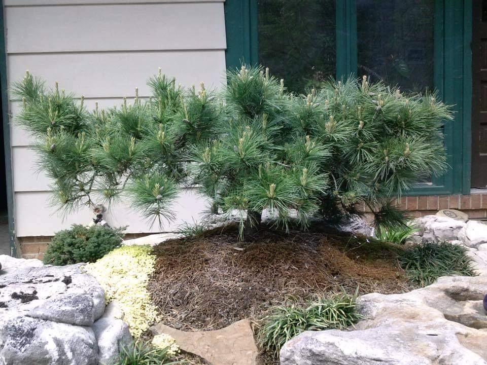 Pinus strobus Niagara Falls eastern white pine conifer evergreen weeping dense long needles