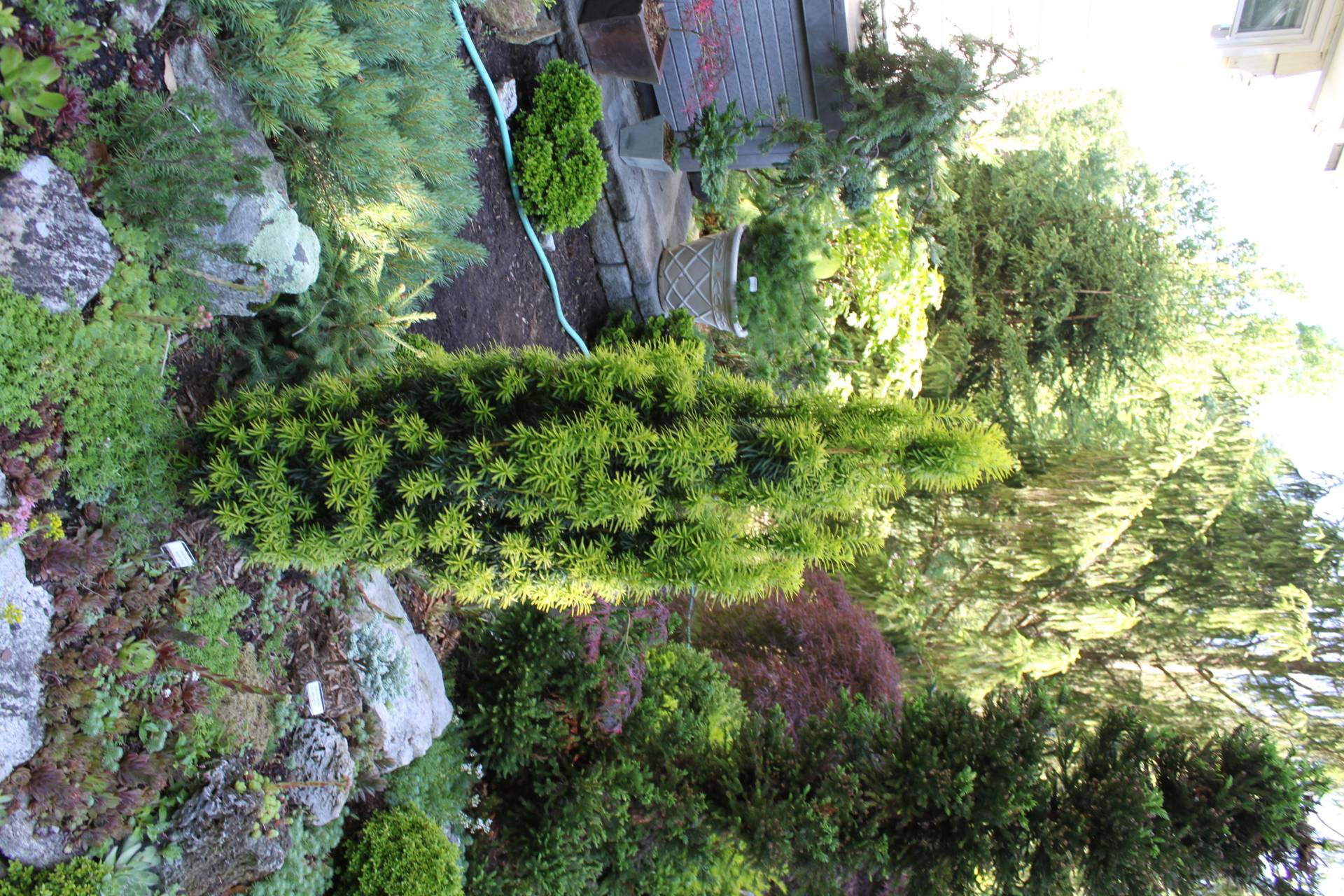 Taxus baccata Silver Spire conifer green gold silver variegated needles