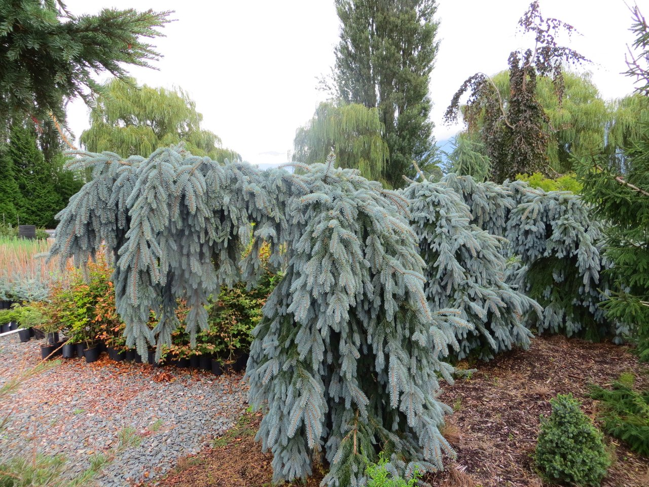 Picea pungens The Blues Colorado spruce evergreen conifer weeping blue needles