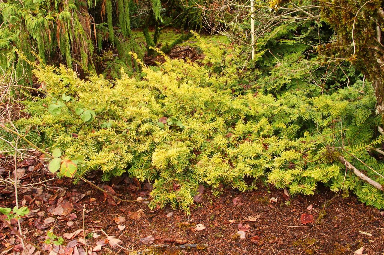 Taxus baccata Watnong Gold conifer green gold needles