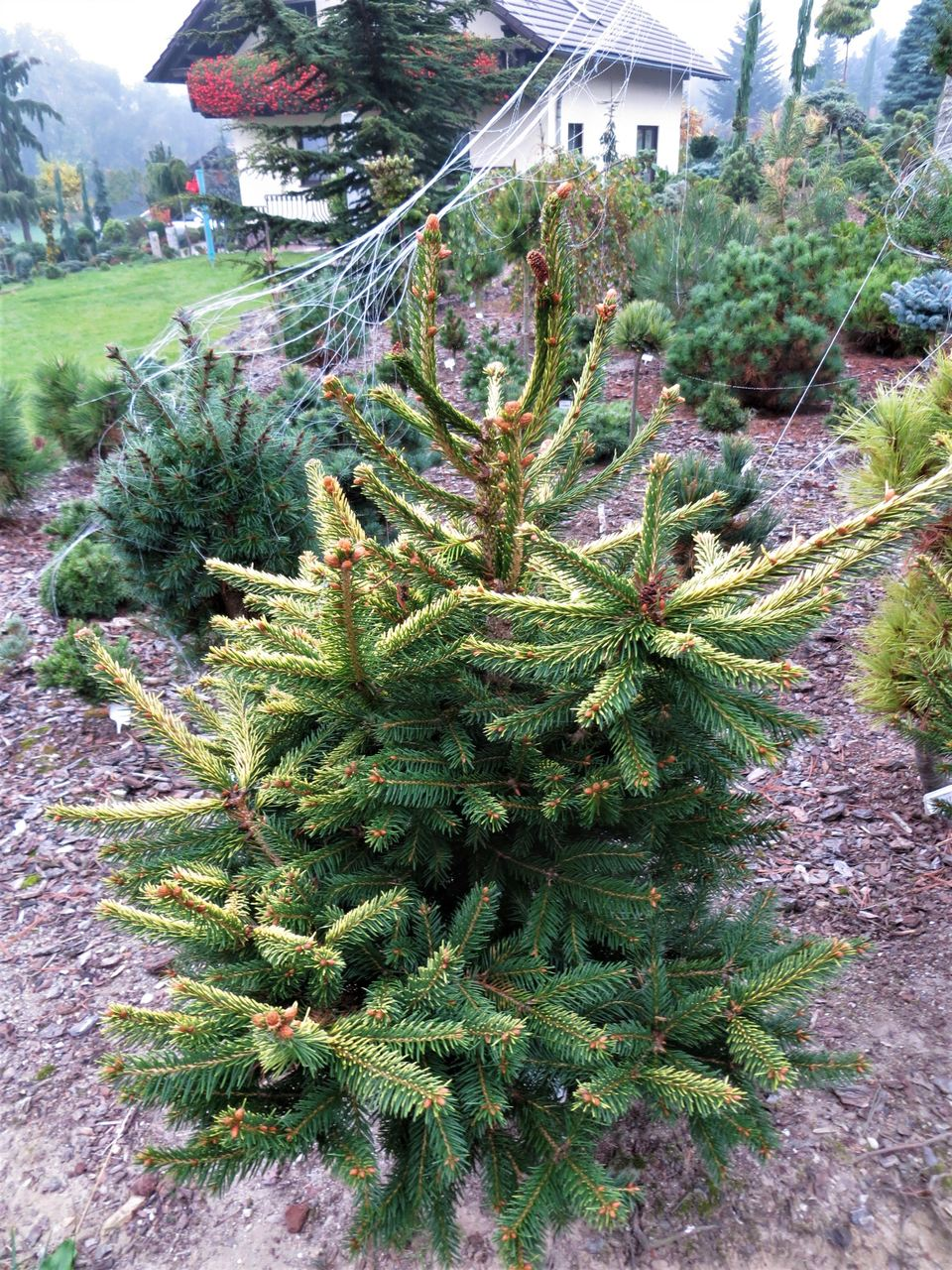 Picea abies Acrocona KBN Yellow Acro Yellow spruce conifer evergreen cones yellow