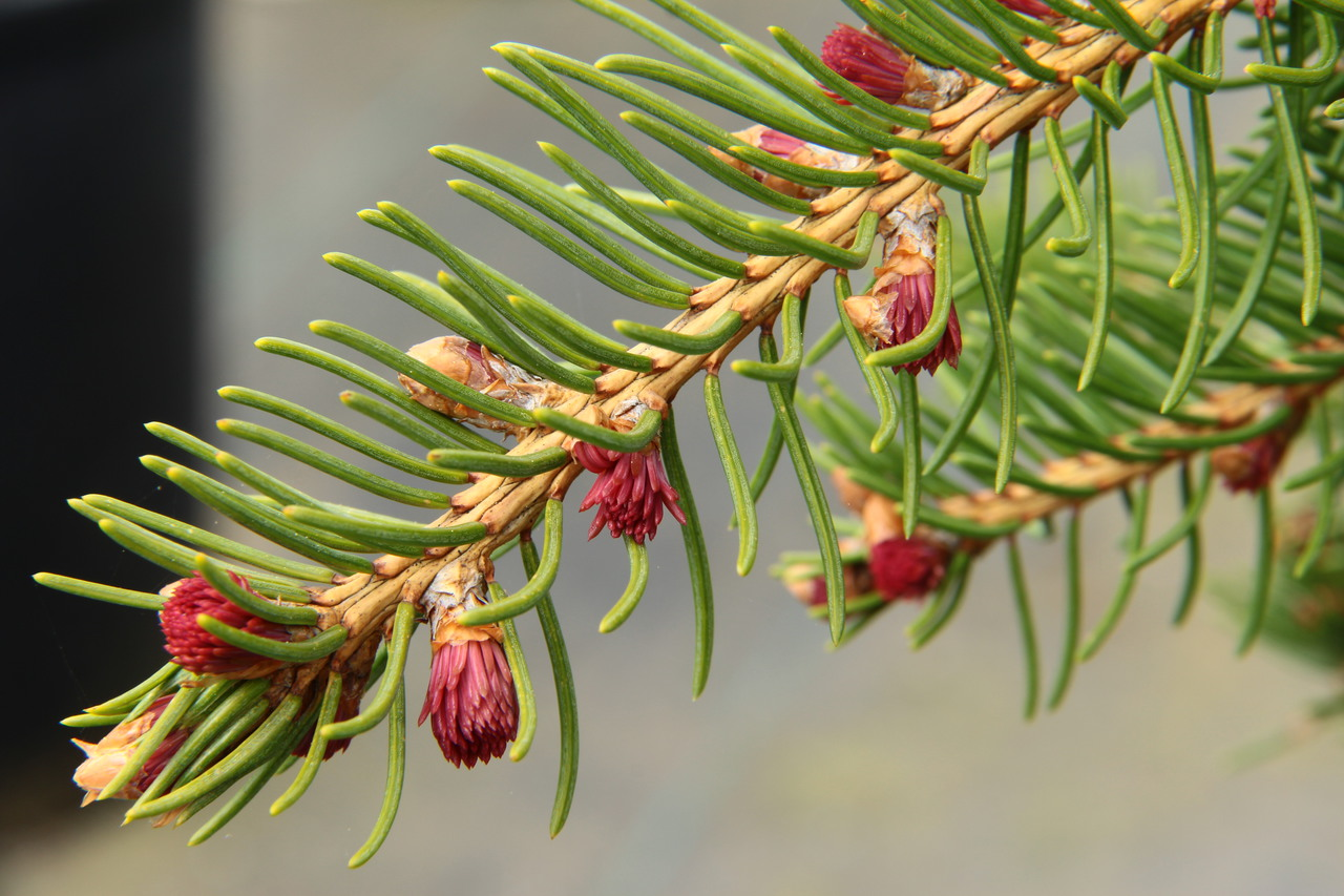 Picea abies Rubra spicata evergreen conifer green red tufts