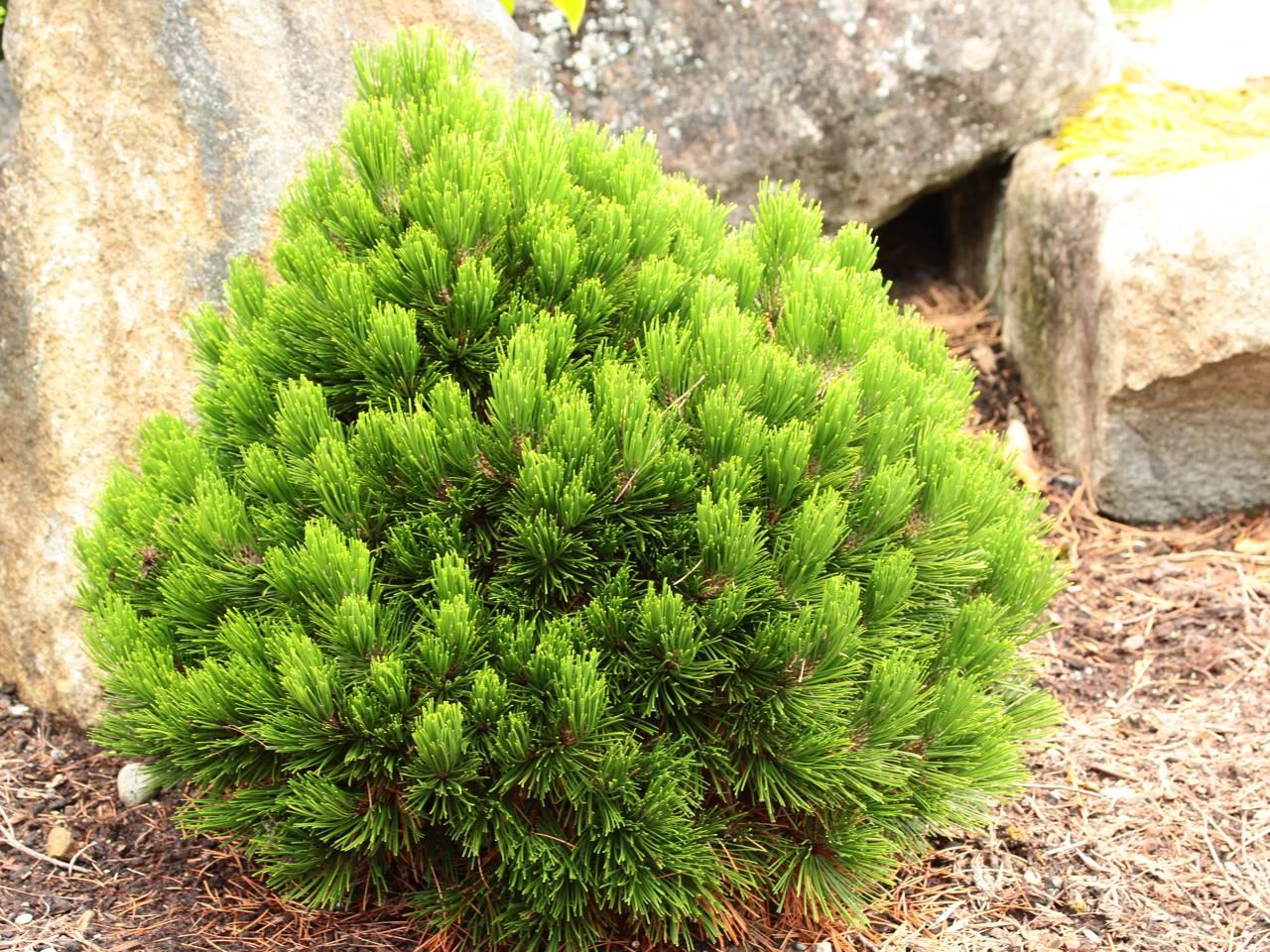 Pinus heldreichii (leucodermis) Smidtii evergreen conifer green