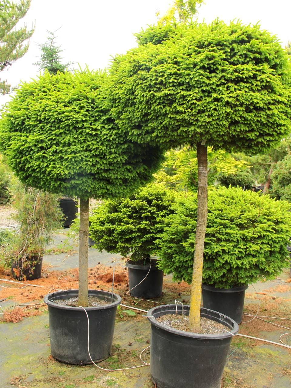Picea abies Little Gem evergreen conifer pruning shape globular globe globose on a standard formal