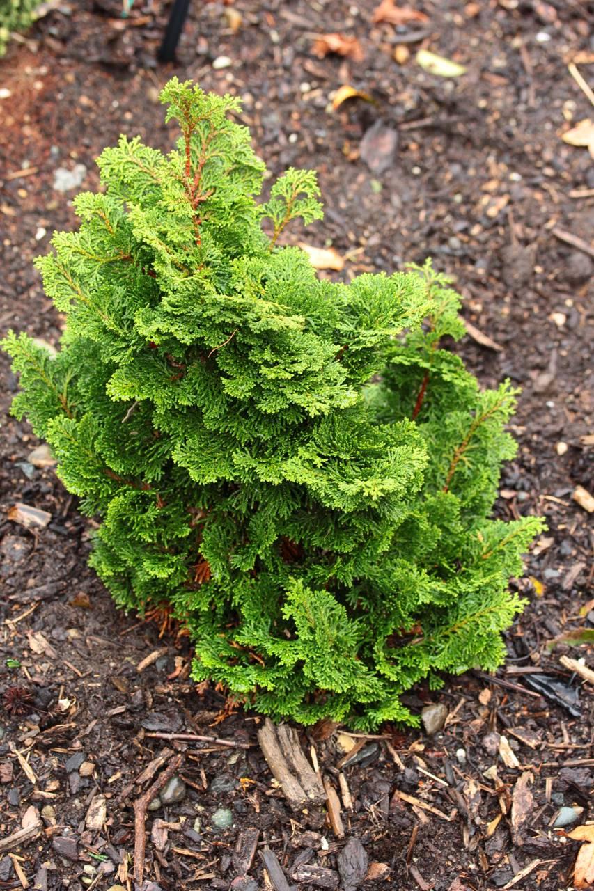 Chamaecyparis obtusa Hage compact mounding layered