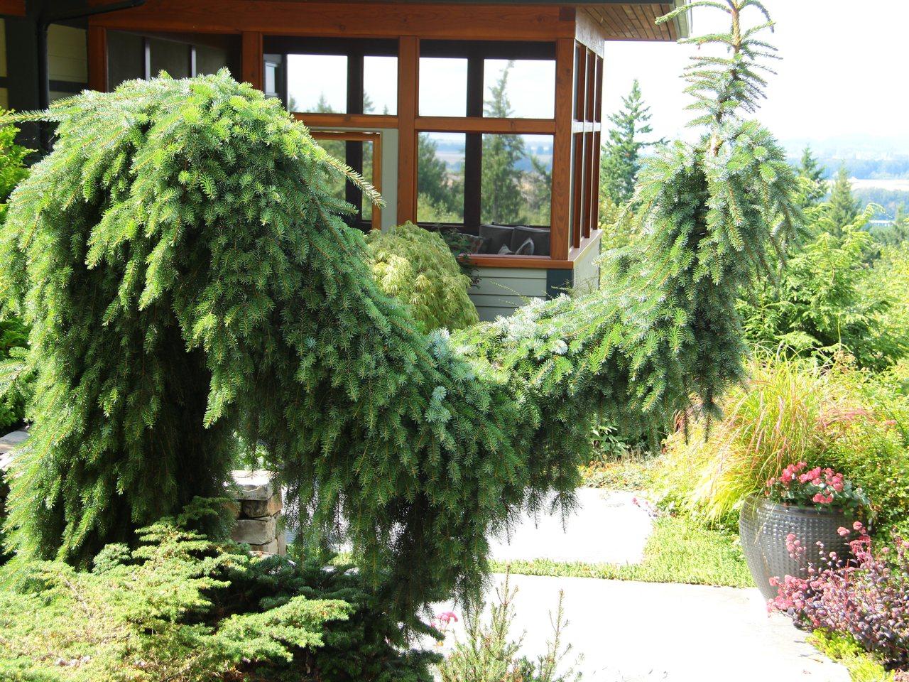 Picea omorika Pendula Bruns Serbian spruce evergreen conifer narrow upright weeping bi-colored needles