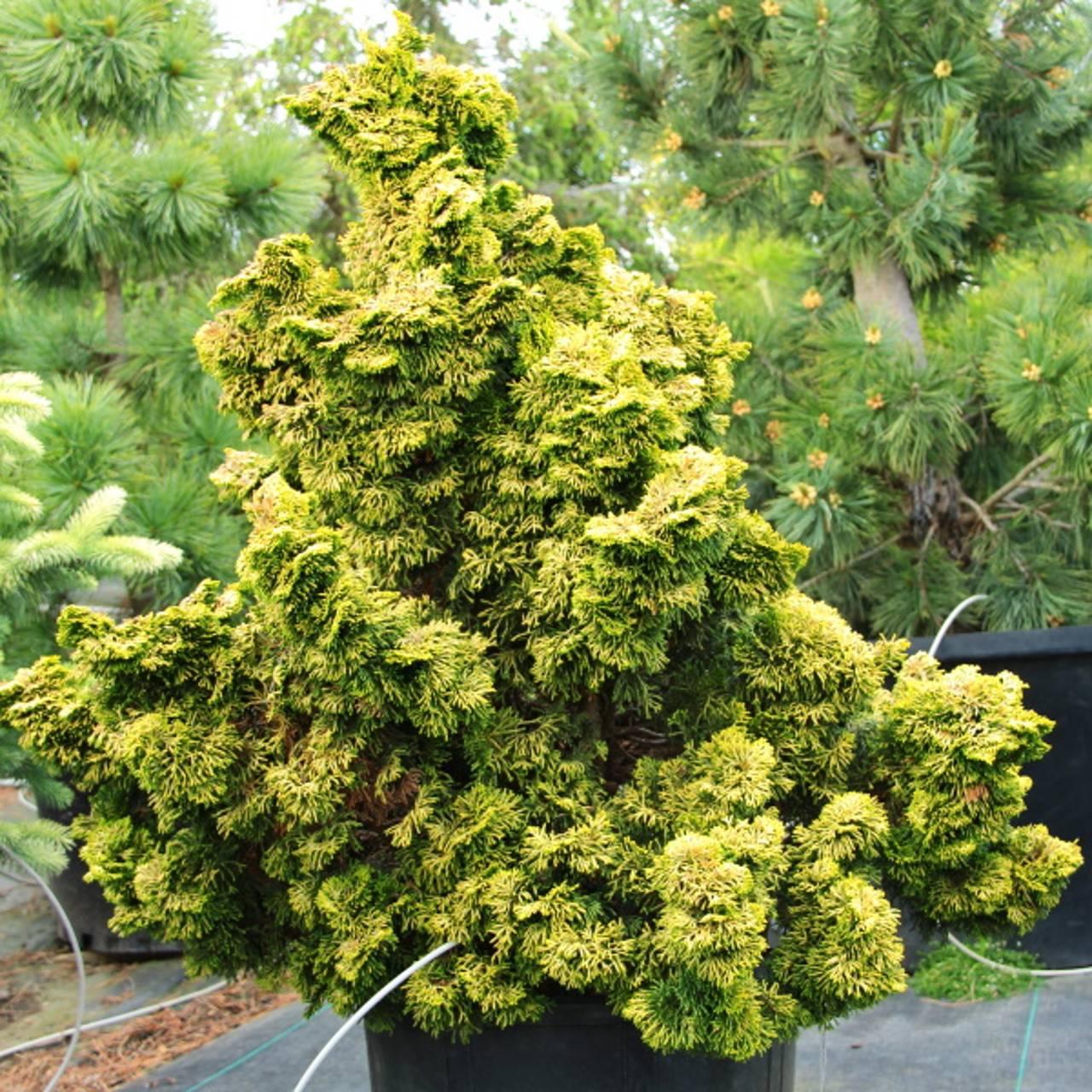 Chamaecyparis obtusa Nana Lutea yellow green