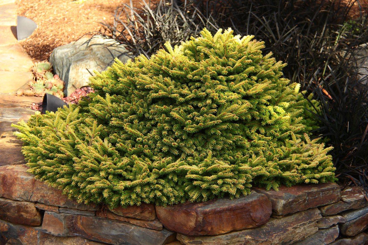 Picea orientalis Tom Thumb Gold oriental Caucasian spruce evergreen conifer miniature mound gold yellow needles