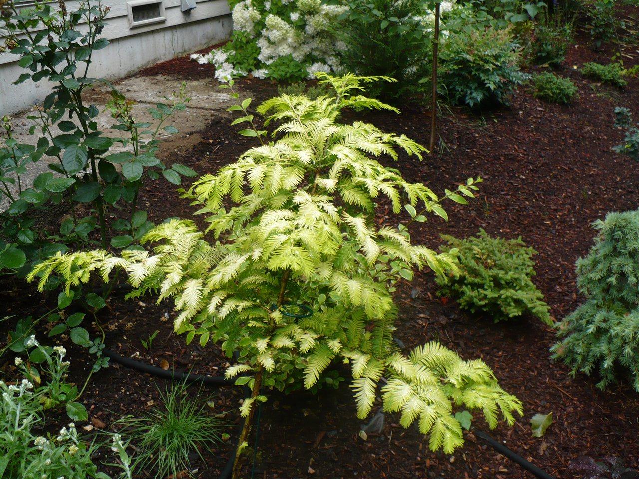 Metasequoia glyptostroboides Ogon Gold Rush Dawn Redwood deciduous conifer fast growing pyramidal gold yellow foliage