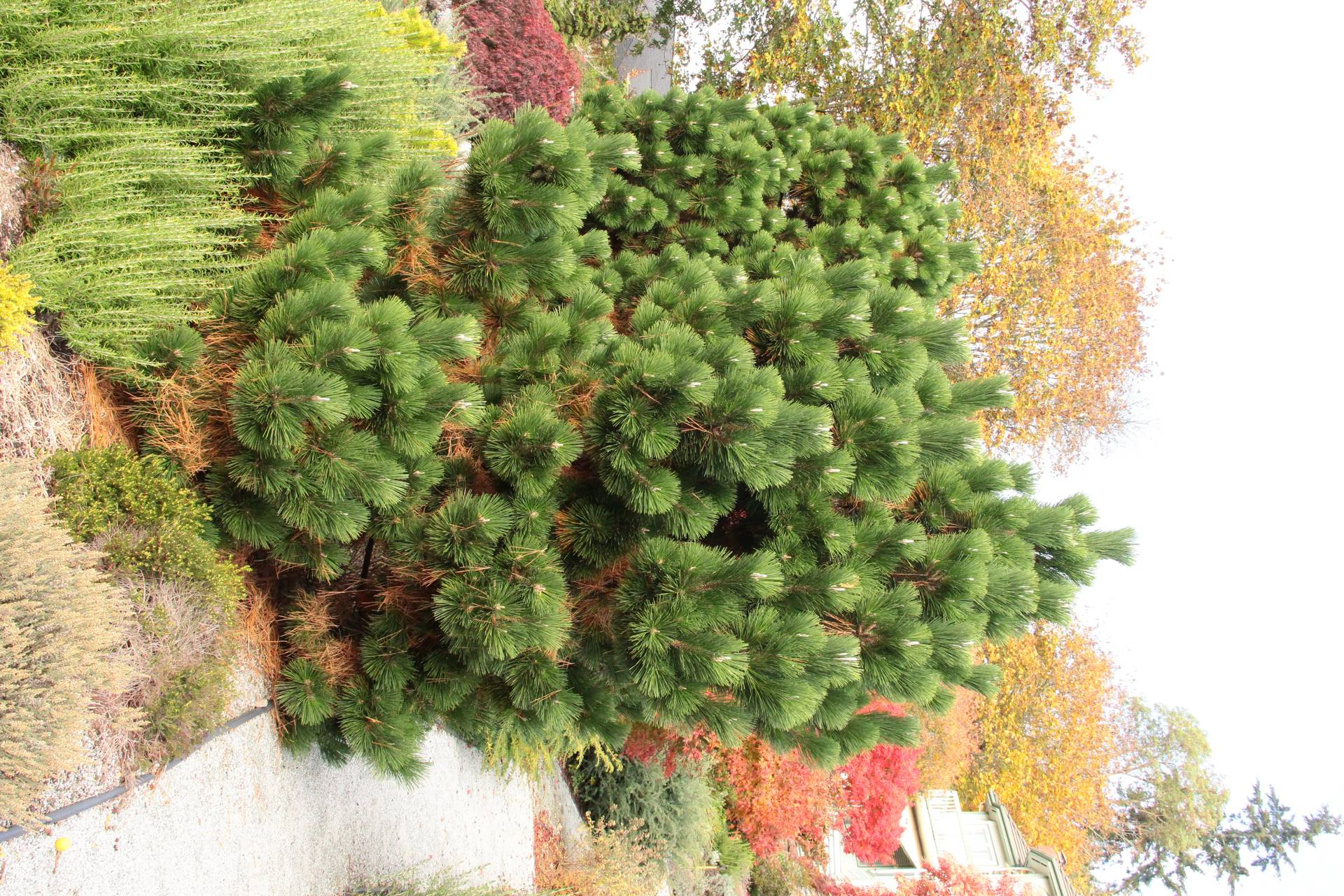 Pinus thunbergii Thunderhead green soft needles white candles