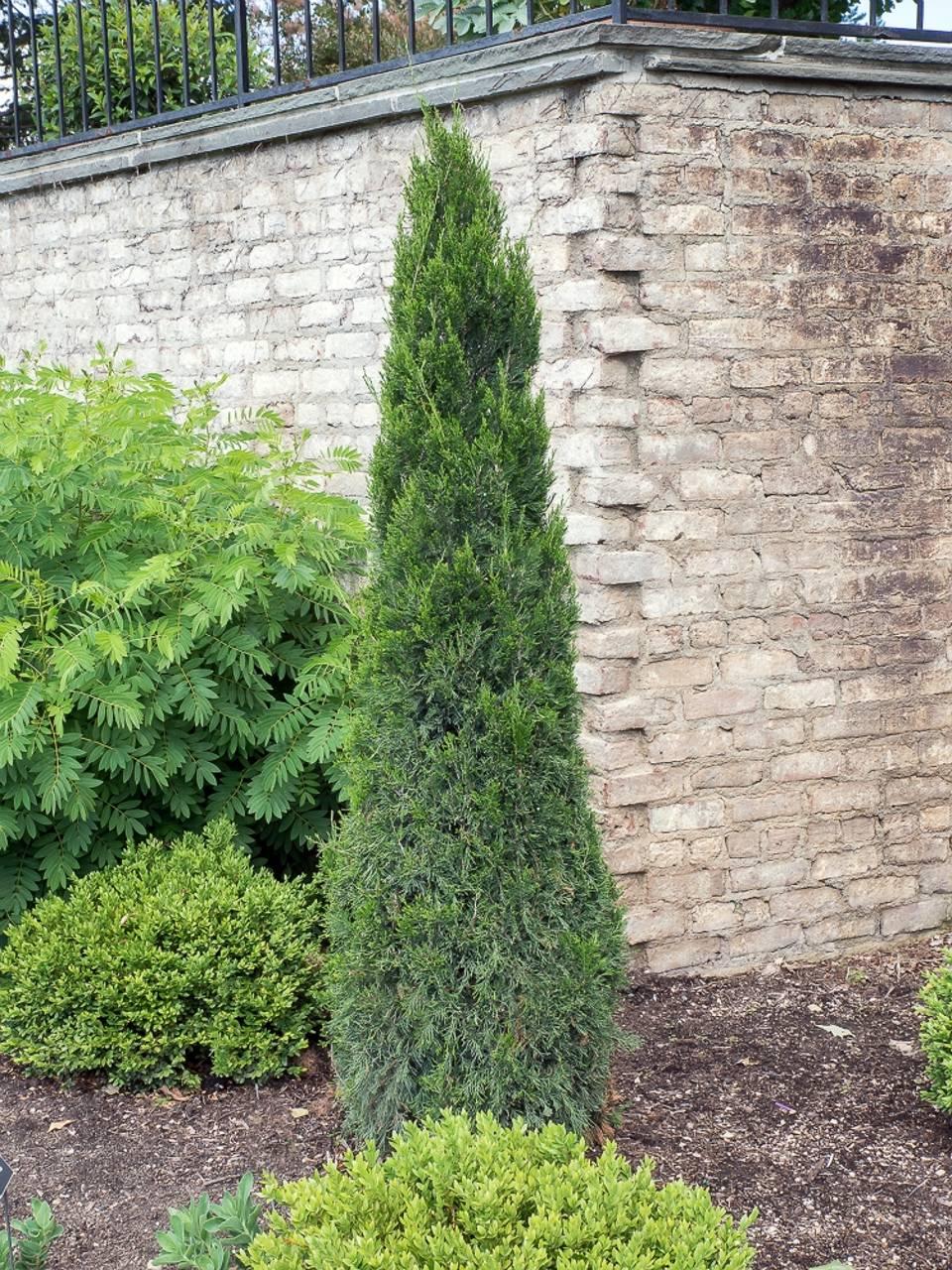 Juniperus Chinensis Spartan green needles structural