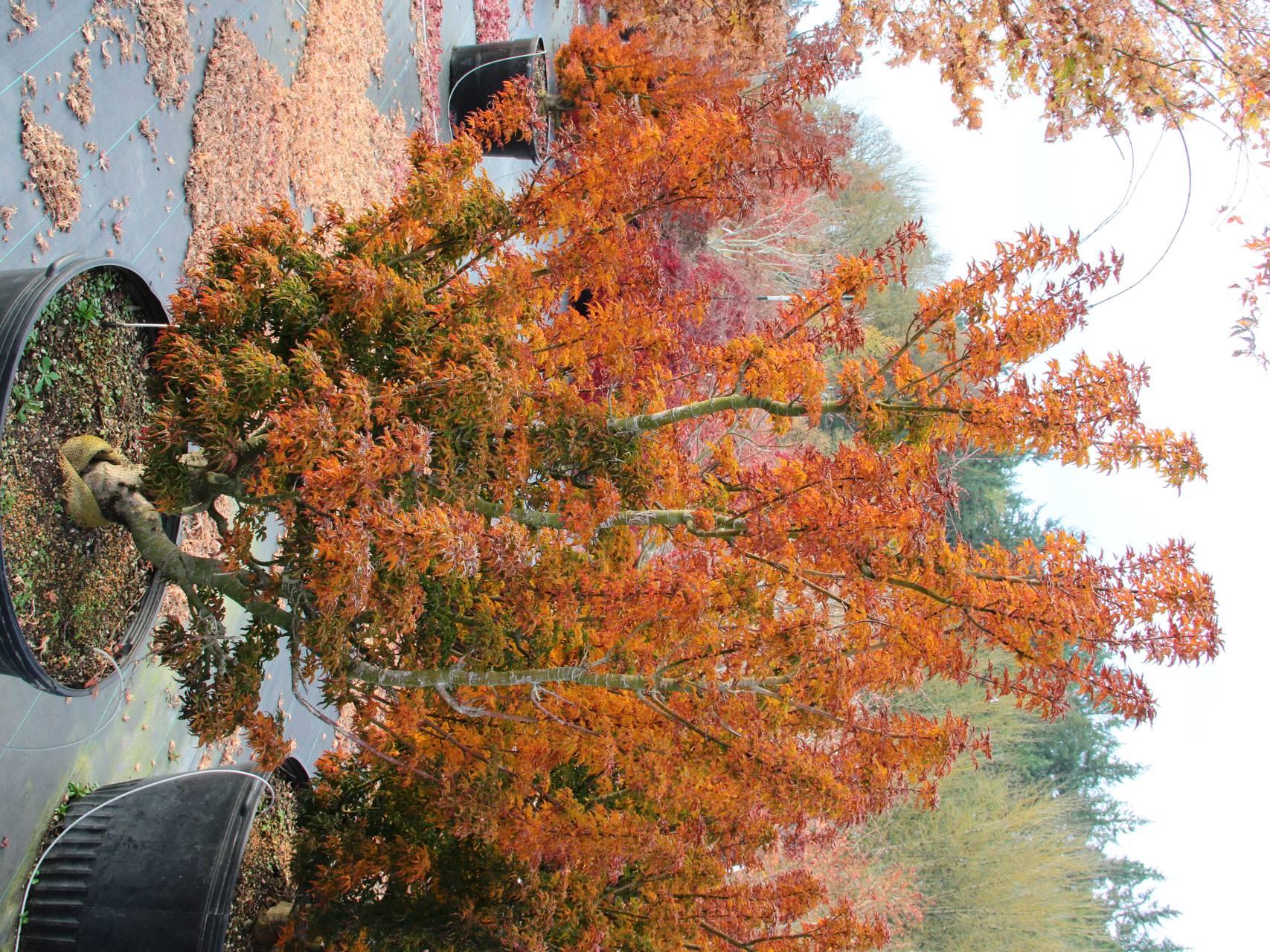 Acer palmatum Shishigashira Japanese maple crinkly leaves upright vase green red