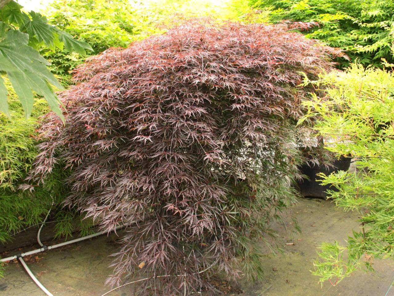 Acer palmatum Tamukeyama Japanese maple red purple layered lace leaves