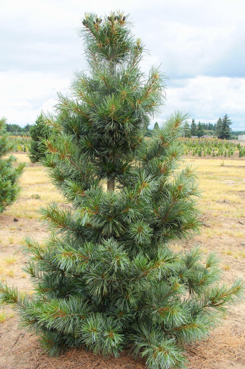 Pinus koraiensis Morris Blue pine conifer evergreen blue needles narrow pyramidal korean cones