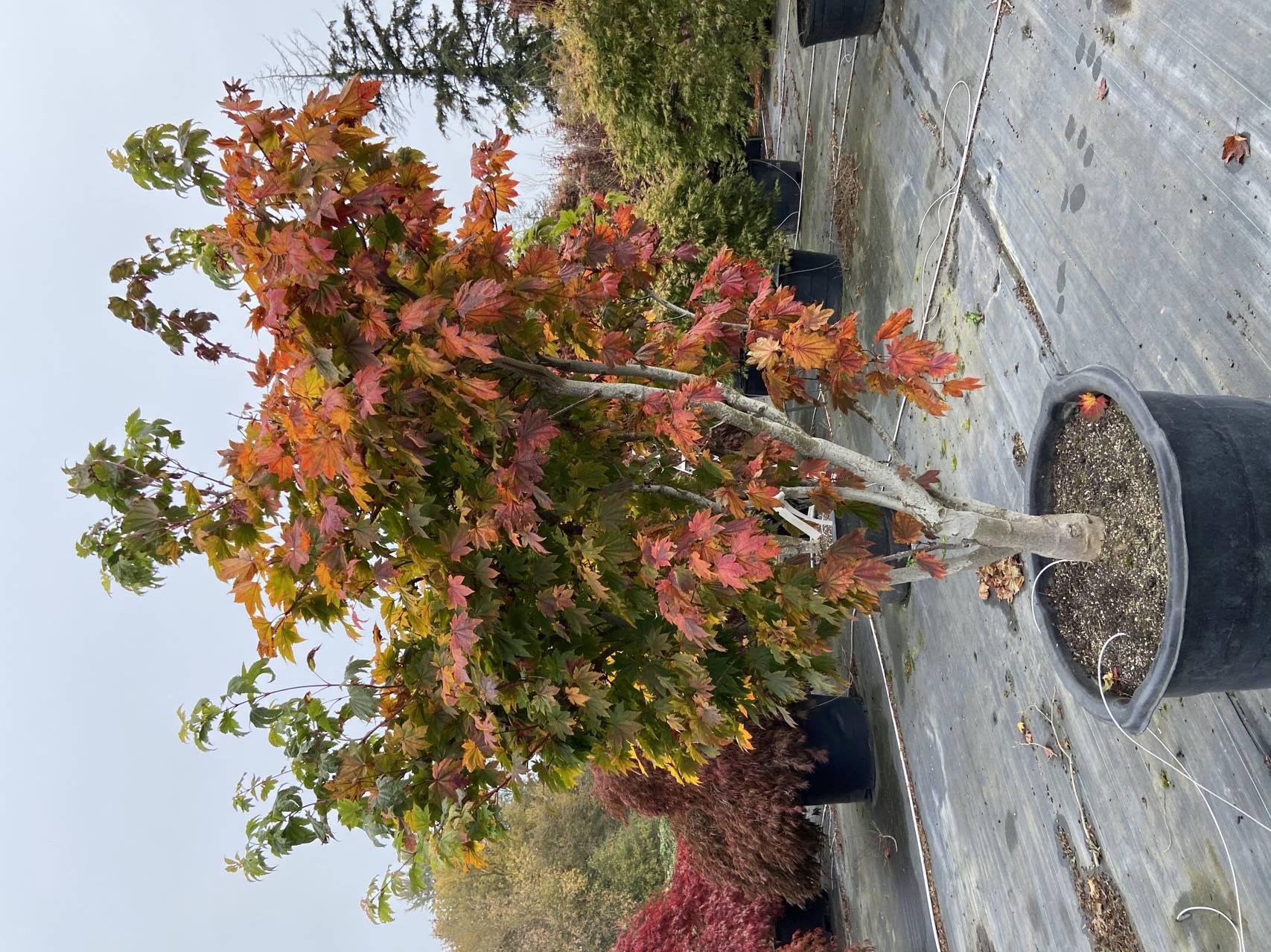 Acer japonicum Taki no gawa Japanese maple Full Moon leaves color green red orange purple