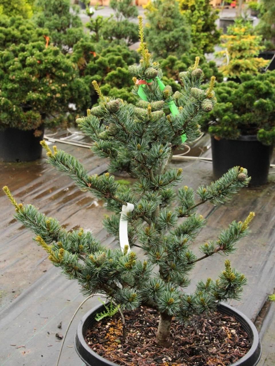 Pinus parviflora Koru conifer blue green needles recurve variegated pyramidal