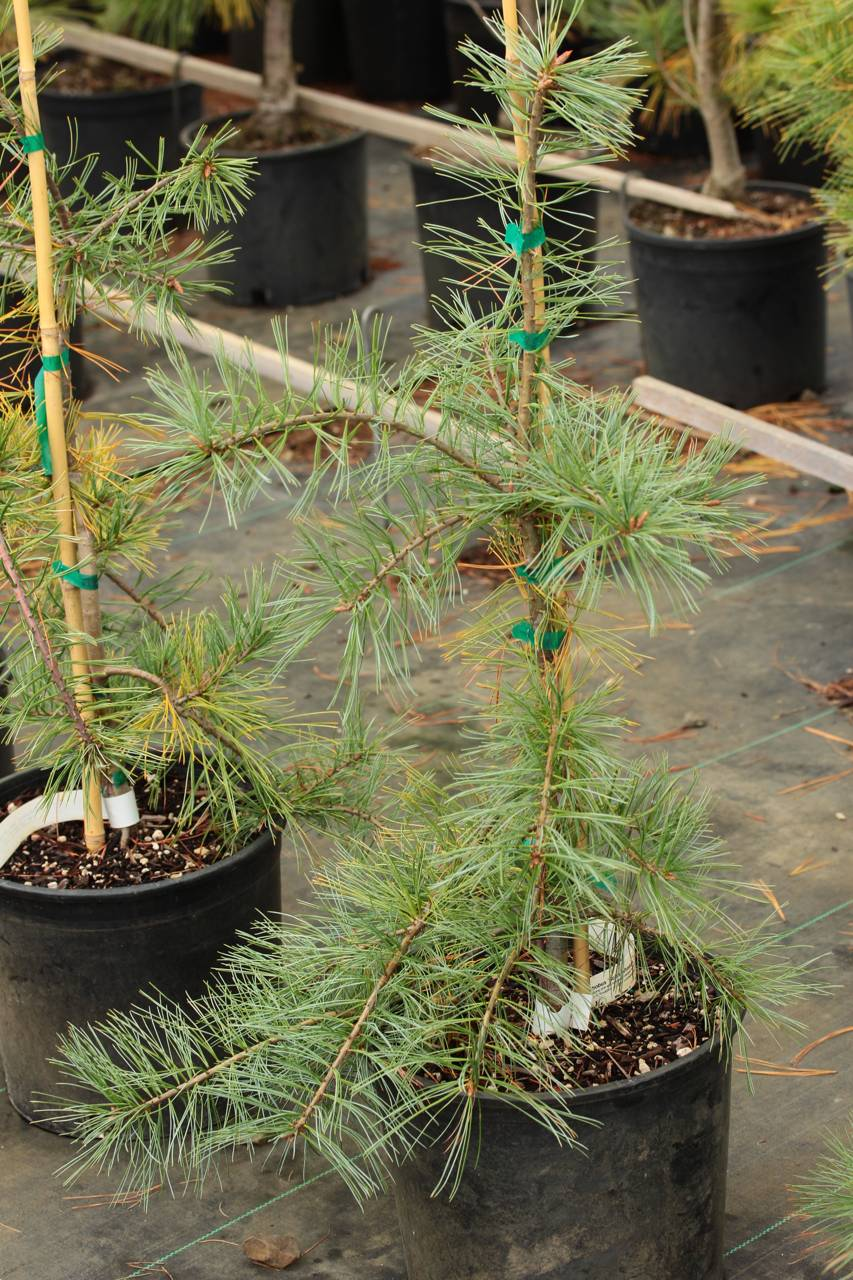 Pinus strobus Bob's Whiskers conifer blue needles shaggy tufts weeping