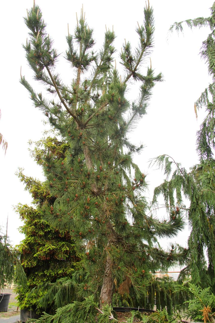 Pinus thunbergii Taihei conifer green structural soft needles cork bark