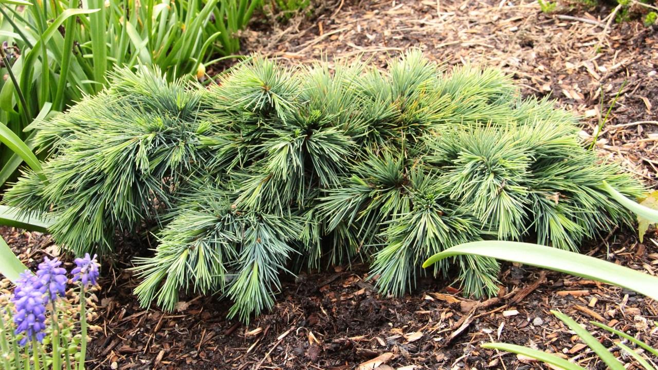 Cedrus libani, Hedgehog, Cedar of Lebanon, evergreen, conifer, blue, mounding