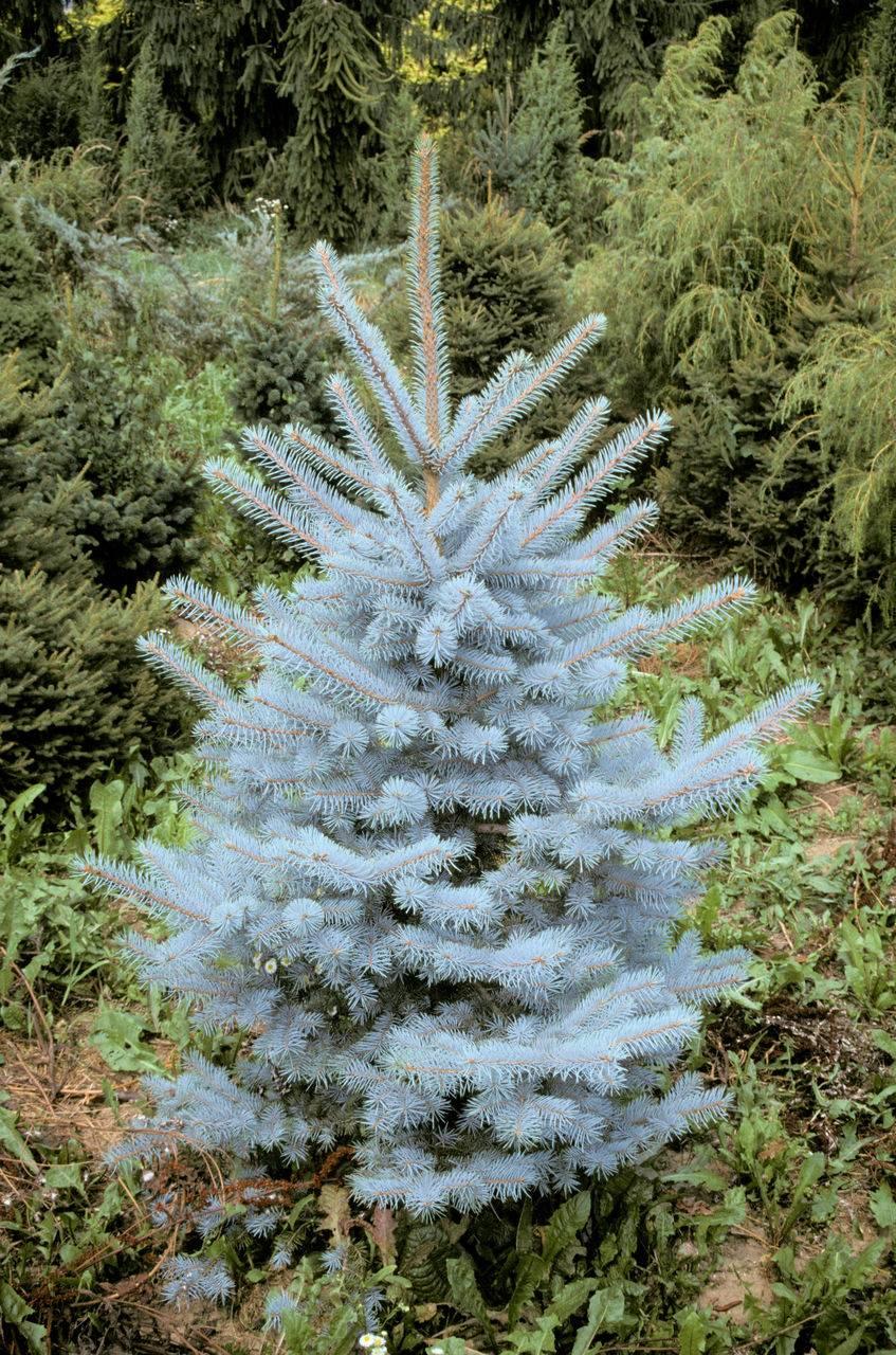 Picea pungens Edit evergreen conifer green