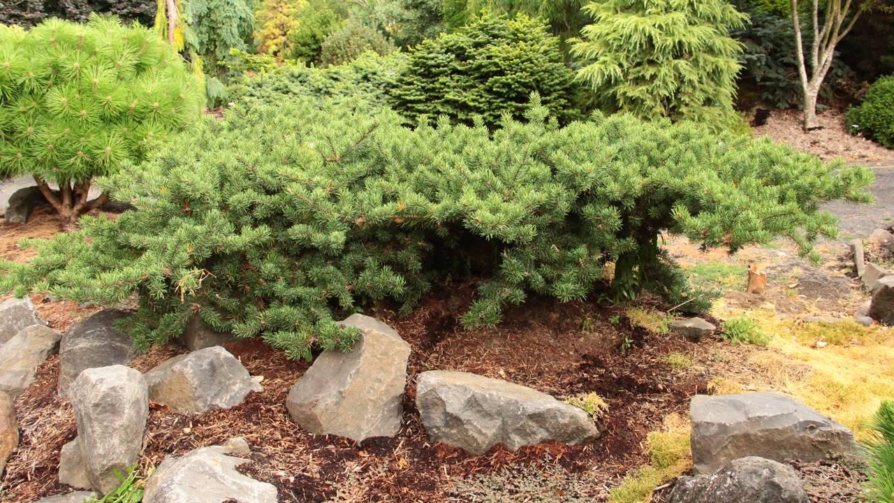 Pinus banksiana Schoodic conifers weeping prostrate green mounding
