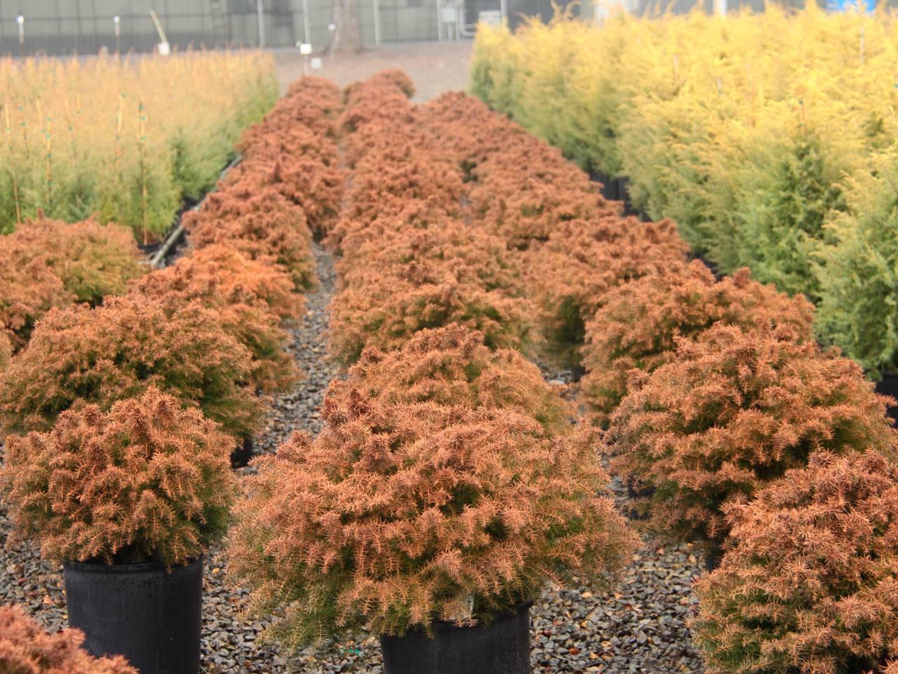 Cryptomeria japonica Mushroom evergreen conifer red green