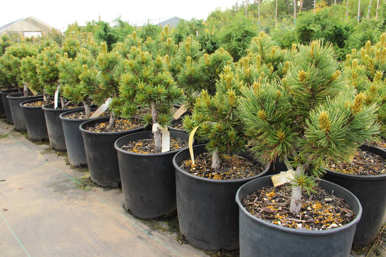 Pinus flexilis Comanche conifers green needles globe