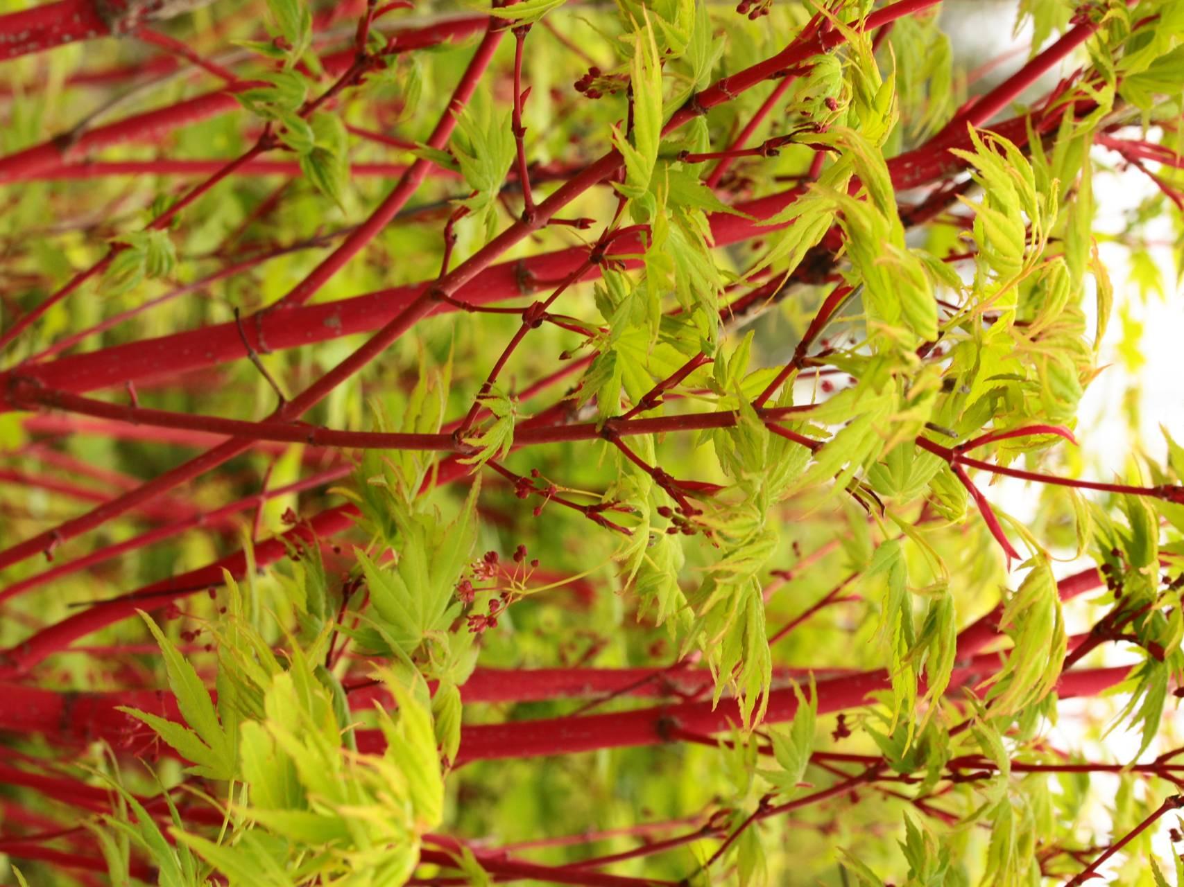 Acer palmatum Sango kaku Japanese maple coral red bark color