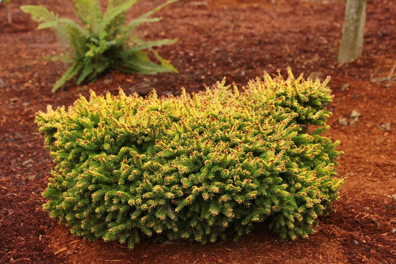 Picea orientalis Tom Thumb Gold evergreen conifer golden mounding