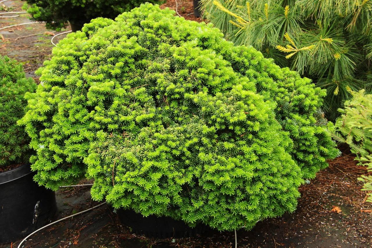Abies koreana Cis conifers small globe green needles whorled