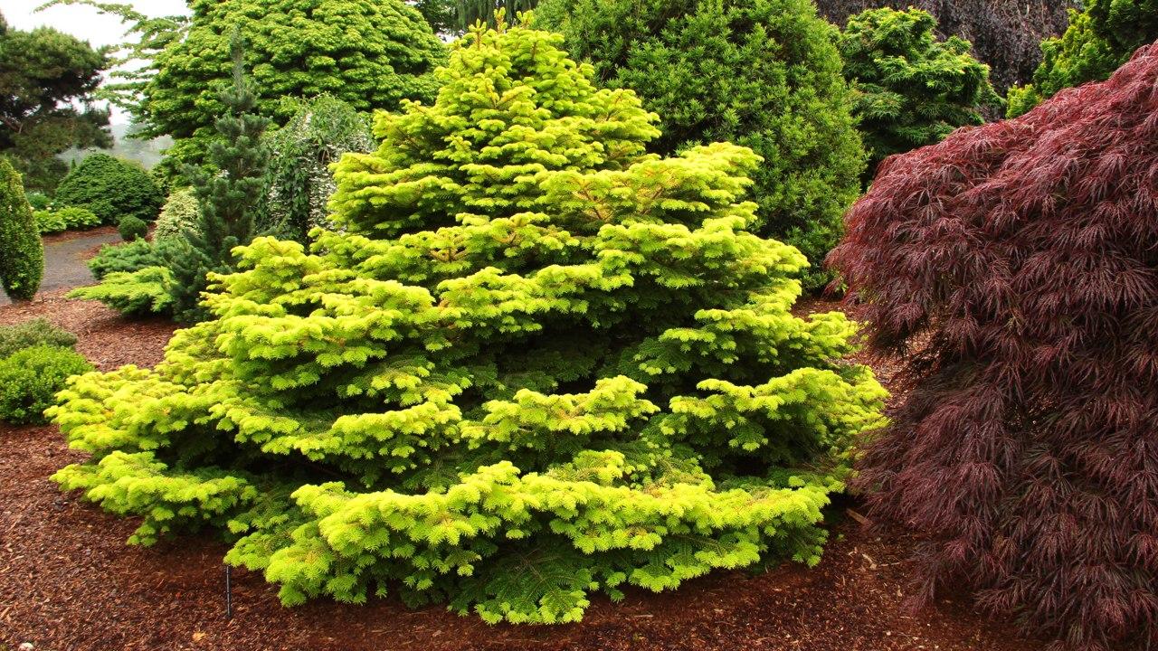 Abies nordmanniana Golden Spreader Nordmann fir dwarf squat conifer evergreen gold yellow
