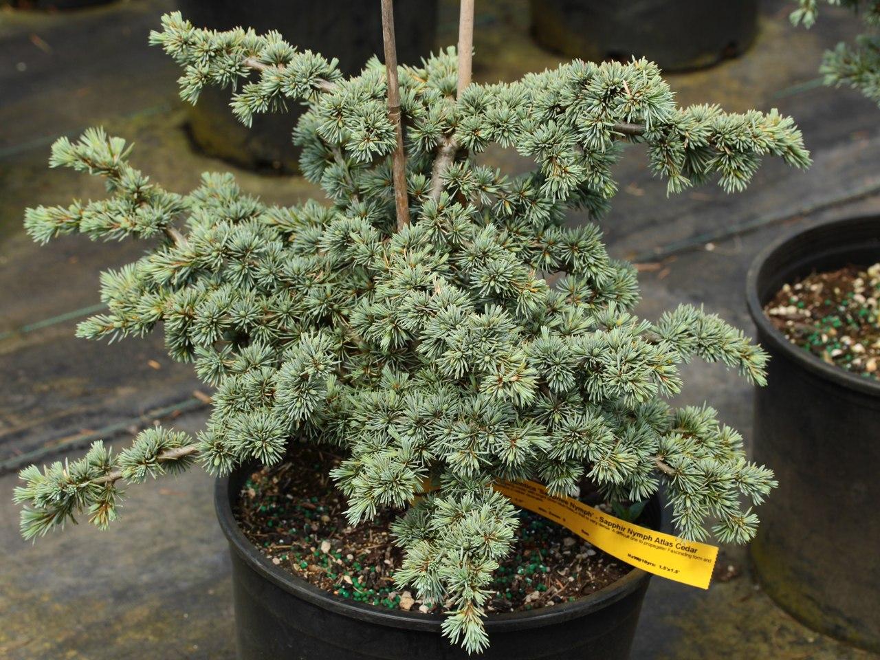 Cedrus atlantica Sapphire Nymph Atlas cedar evergreen conifer blue prostrate miniature