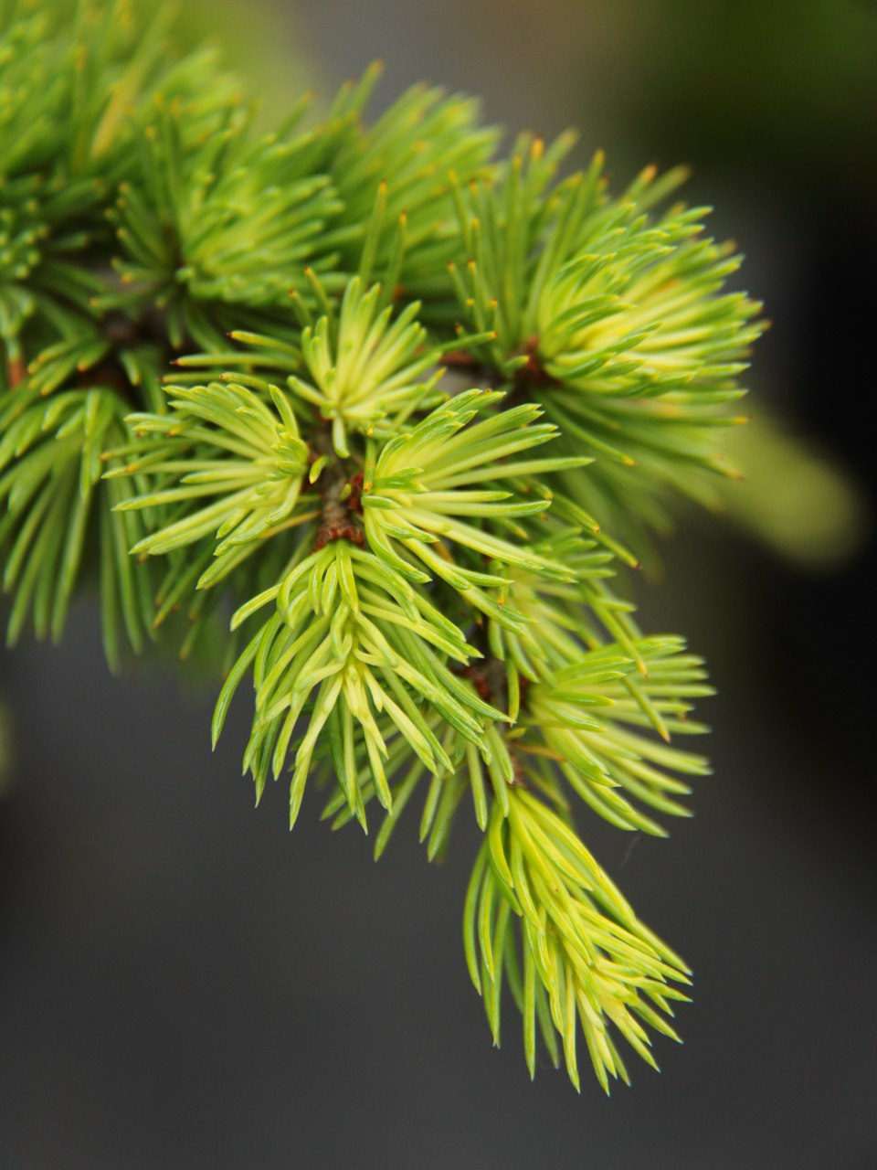 Cedrus atlantica Silberspitz Atlas cedar evergreen conifer silver blue green needles