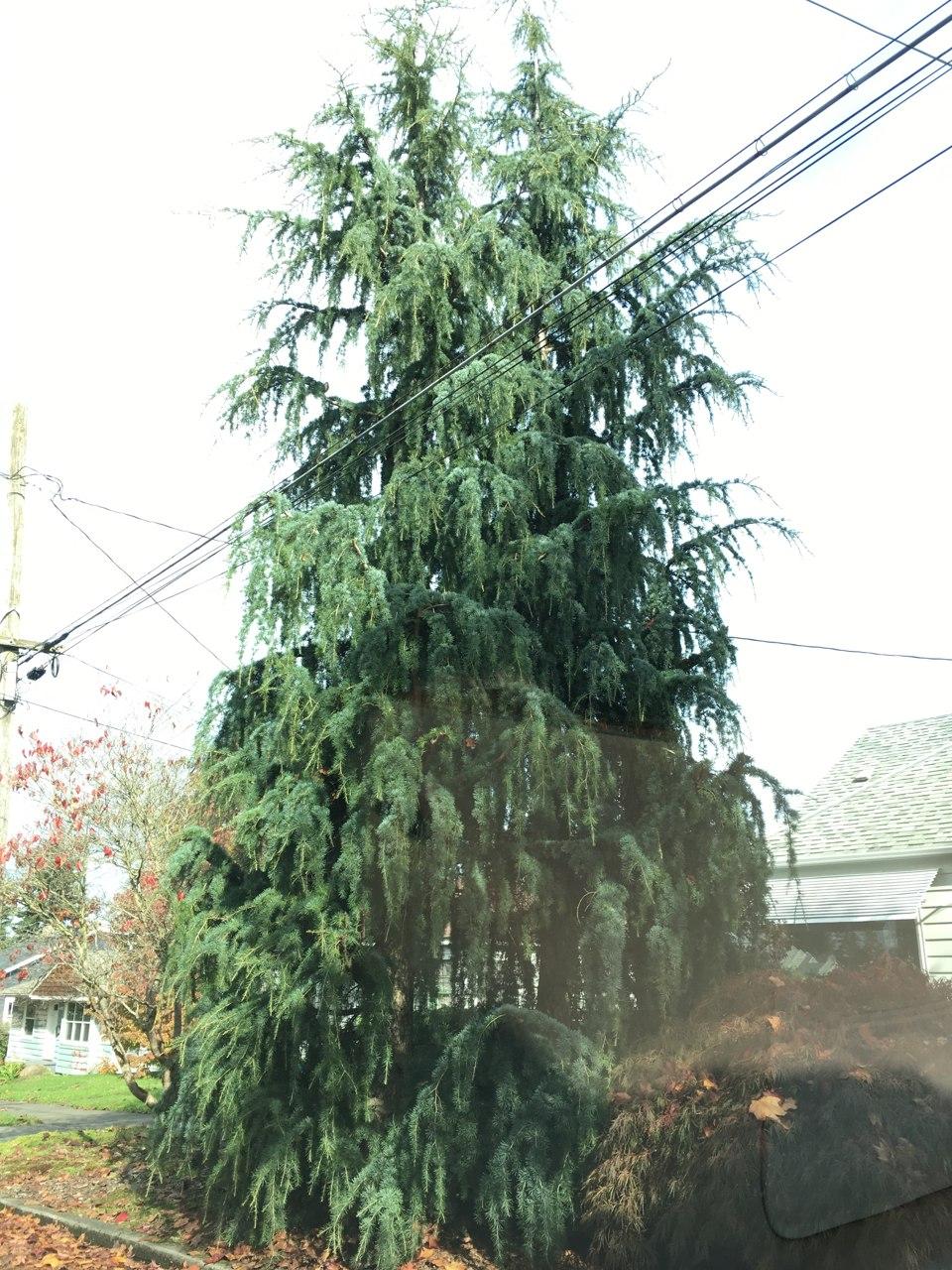 Cedrus libani Blue Angel Cedar of Lebanon evergreen conifer blue needles