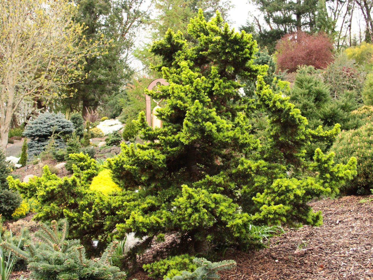 Cedrus libani Green Prince Cedar of Lebanon evergreen conifer dwarf green needles