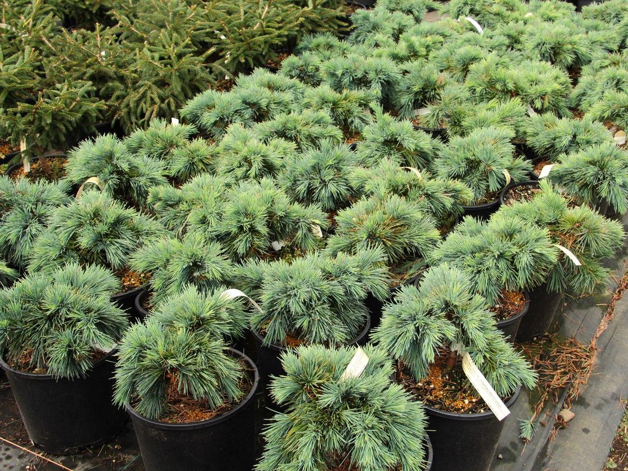 Cedrus libani Hedgehog Cedar of Lebanon evergreen conifer blue green needles miniature mounded