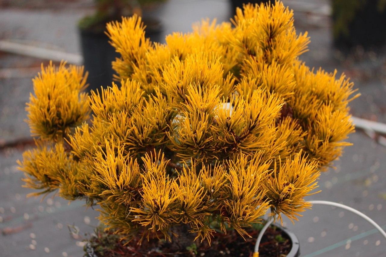 Pinus mugo Carstens pine conifer evergreen globose yellow gold