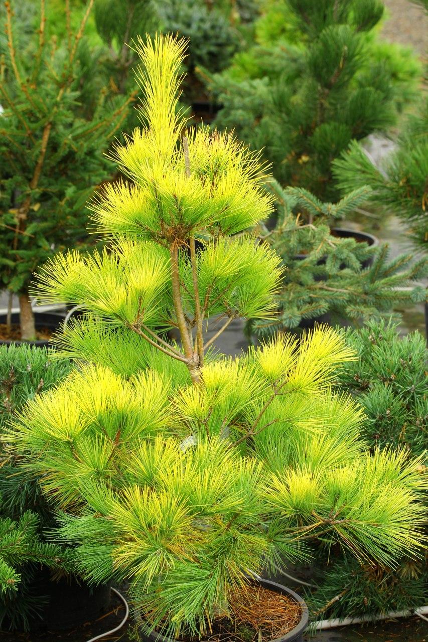 Pinus strobus Louie white pine globose pyramidal evergreen conifer gold yellow