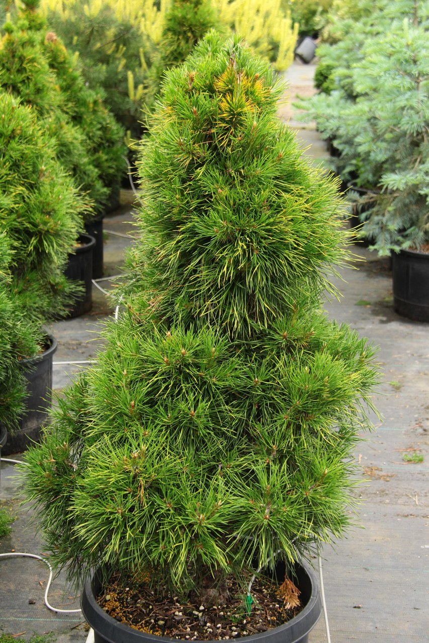 Pinus sylvestris Moseri Scots pine evergreen conical conifer gold yellow winter